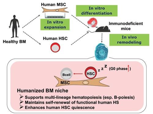 Human MSC.jpg