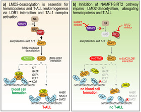 LMO2 activation by deacetylation is indispensable for hematopoiesis and T-ALL leukemogenesis