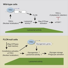 A FLCN-TFE3 feedback loop prevents excessive glycogenesis and phagocyte activation by regulating lysosome activity
