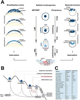 Mesenchymal-epithelial transition regulates initiation of pluripotency exit before