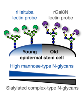 Glycome profiling by lectin microarray reveals dynamic glycan alterations during epidermal stem cell aging