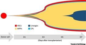 Bone Marrow Transplantation Dynamics: When Progenitor Expansion Prevails