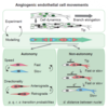 Autonomy and non-autonomy of angiogenic cell movements revealed by experiment-driven mathematical modeling
