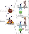 Integrin αvβ3 enhances the suppressive effect of interferon-γ on hematopoietic stem cells