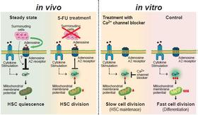 Ca2+-Mitochondria axis drives cell division in hematopoietic stem cells