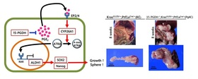 Inhibition of 15-PGDH causes Kras-driven tumor expansion through prostaglandin E2-ALDH1 signaling in the pancreas.