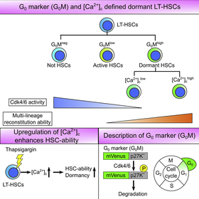 Discrimination of Dormant and Active Hematopoietic Stem Cells by G0 Marker Reveals Dormancy Regulation by Cytoplasmic Calcium
