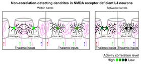NMDA Receptor Enhances Correlation ofSpontaneous Activity in Neonatal Barrel Cortex