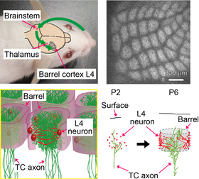Elucidating mechanisms of neuronal circuit formation in layer 4 of the somatosensory cortex via intravital imaging