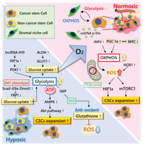 Conflicting metabolic alterations in cancer stem cells and regulation by the stromal niche